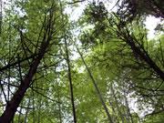 原木しいたけは、森の風味そのもの